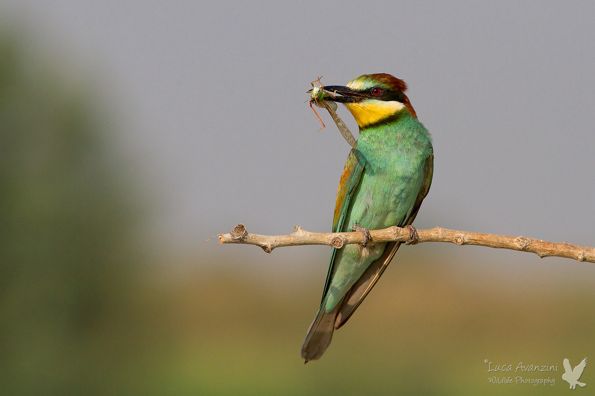 Photograph bee-eater at sunrise by Luca Avanzini on 500px