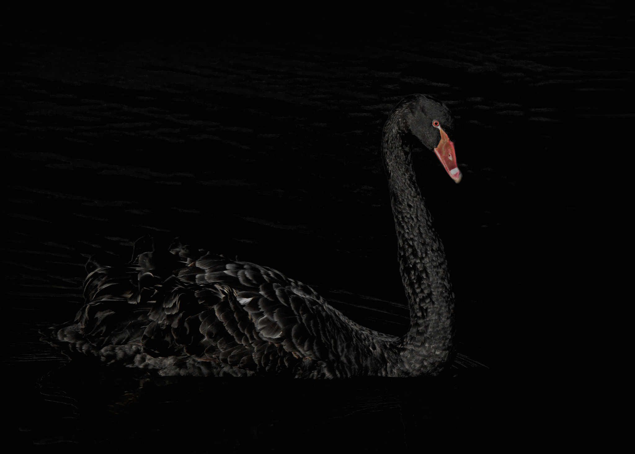 Photograph Low Key Swan by Steven Kersting on 500px