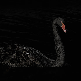 Low Key Swan by Steven Kersting (SKersting)) on 500px.com