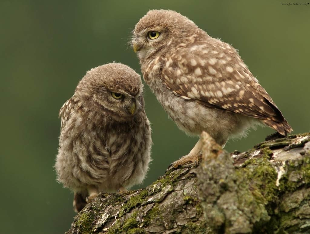 Photograph Little Owls by Astrid  Stokvis on 500px