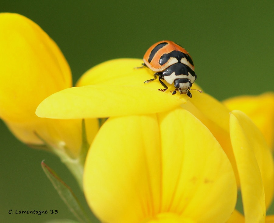 This type of ladybug beetle was new to me and found by my friend Barb D'Arpino while we were out doing some macro shooting a few weeks ago. Ladybugs are my favorite insect and I was pretty excited when she found it in a patch of Birdsfoot Trefoil wildflowers. I had fun looking for insects with her as she finds them interesting like I do. It was a bit breezy but I managed a few shots. Thanks for your help on this one Barb :)