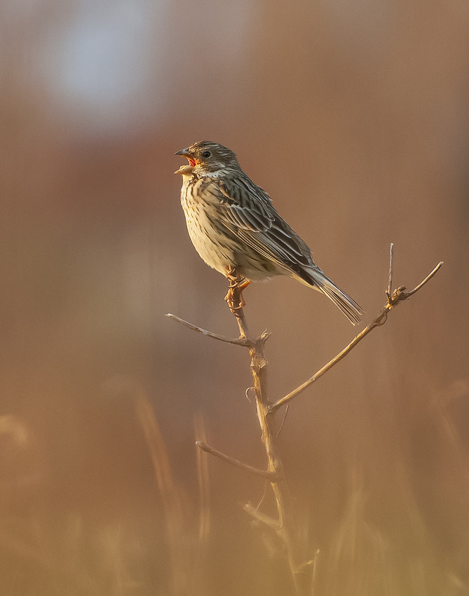 Photograph Corn Bunting by Boyan  Iliev on 500px