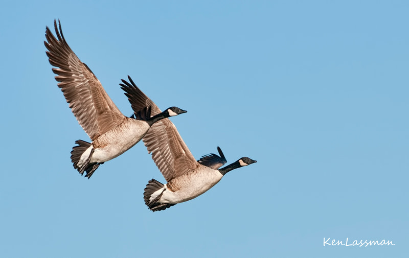 Canadian Geese after take off