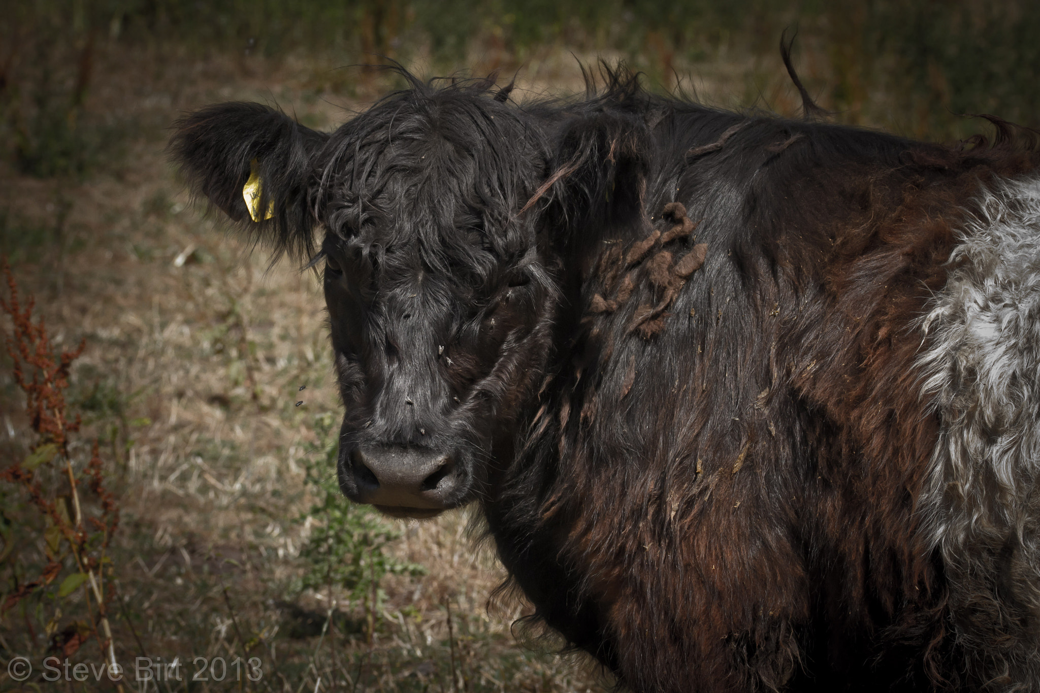 Photograph Belted Galloway by Steve Birt on 500px