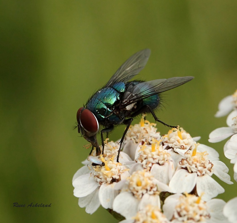 Photograph Green Bottle Fly by Rune Askeland on 500px