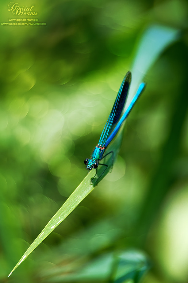 Photograph Calopteryx splendens by Norbert G on 500px
