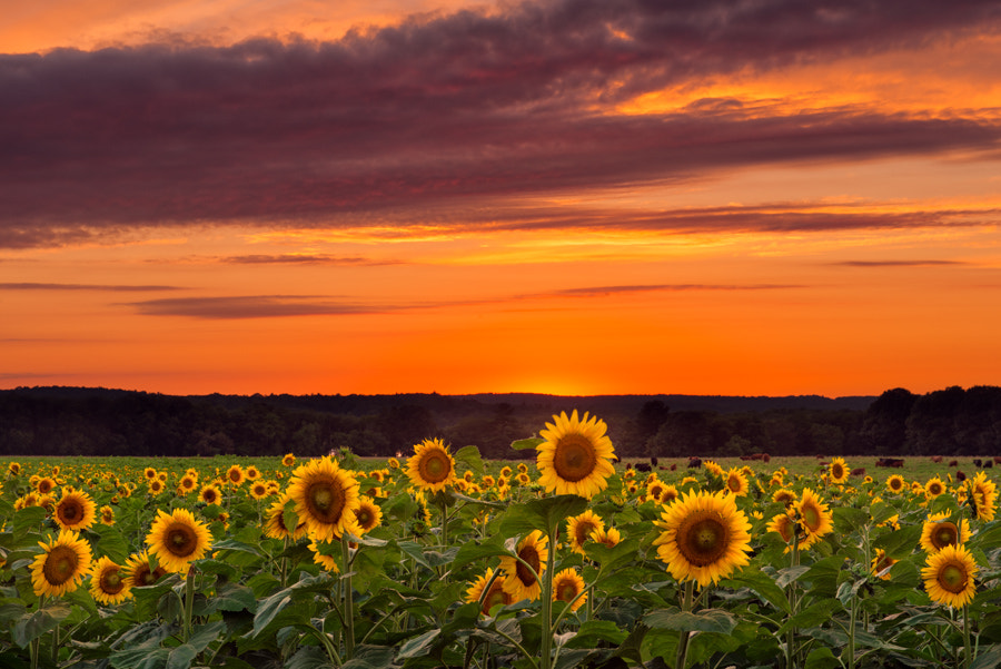 Photograph Sunset over Sunflowers by Michael Blanchette on 500px