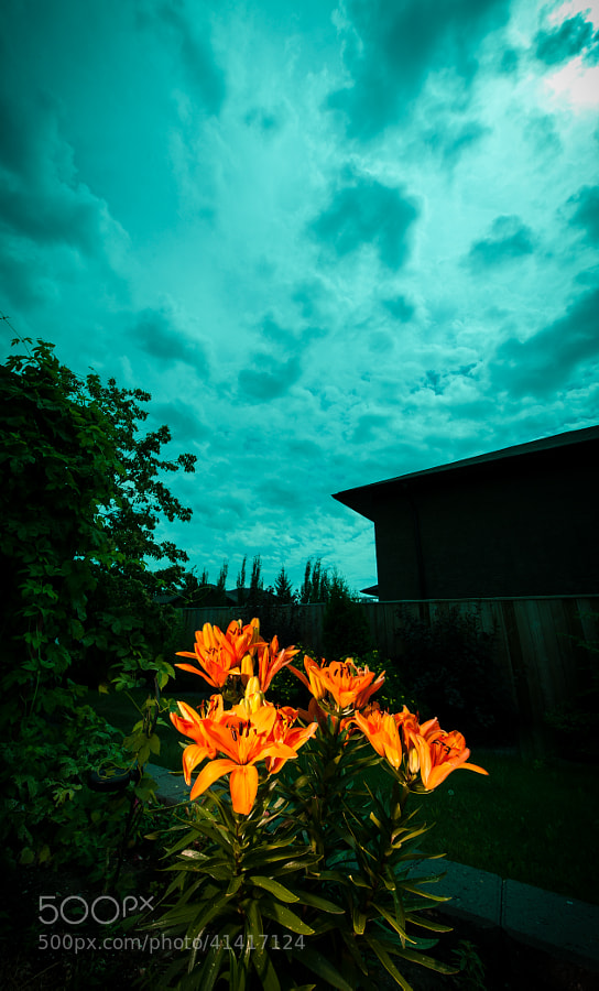 Dark Sky Lilies by Jay Scott on 500px.com