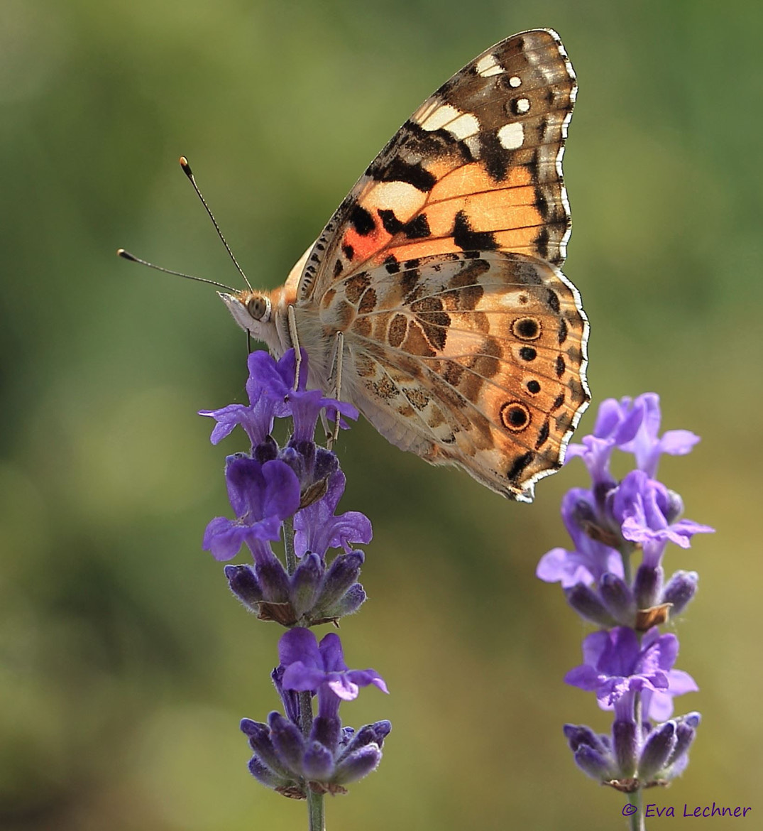 Photograph Lavender & Butterfly by Eva Lechner on 500px