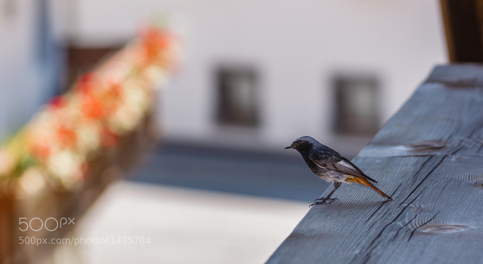 Photograph Black Redstart in Tirol by Steven Van Verre on 500px
