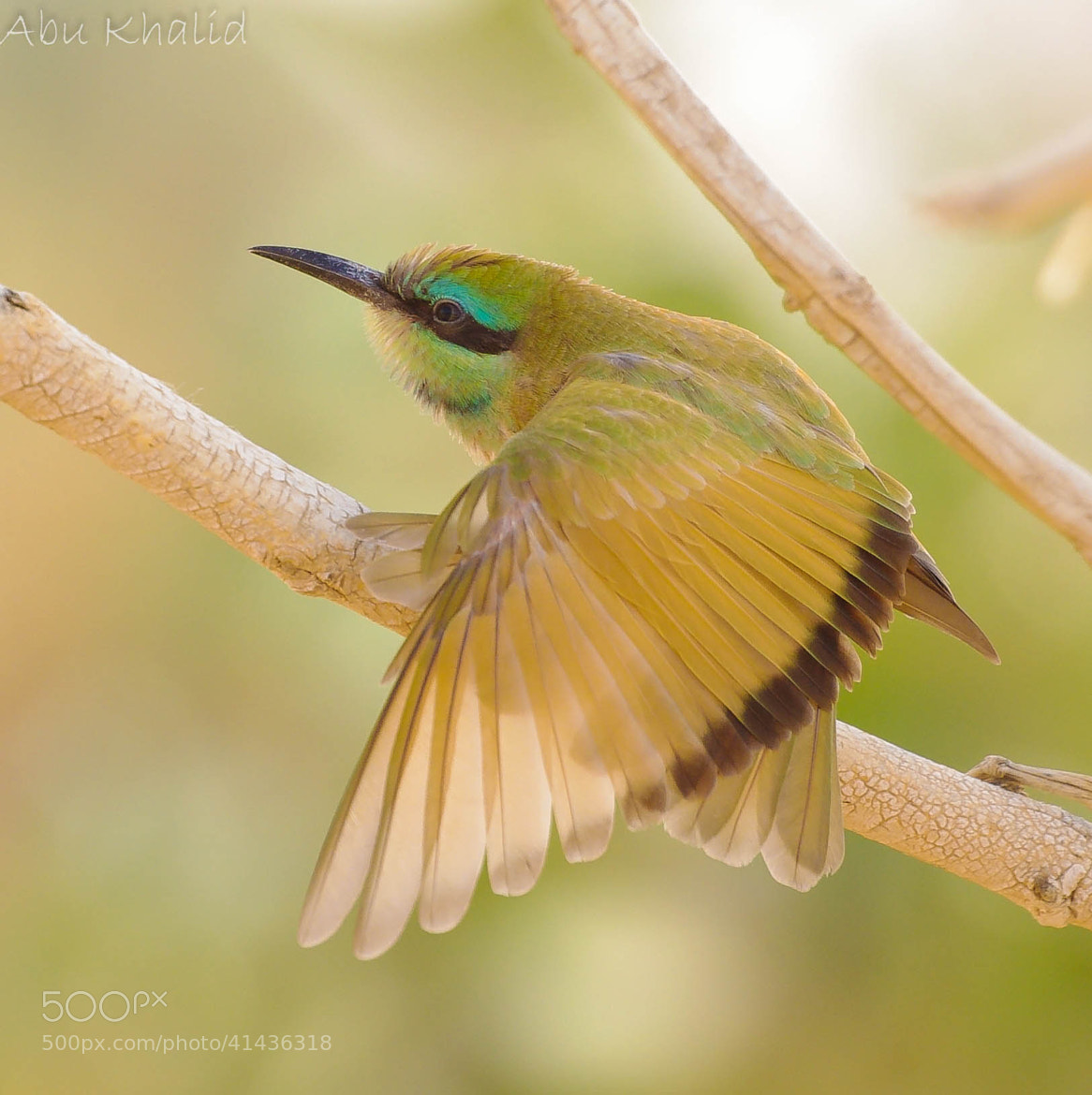 Photograph Green Bee Eater الوروار الاخضر الصغير by Saad Al-Oyed on 500px