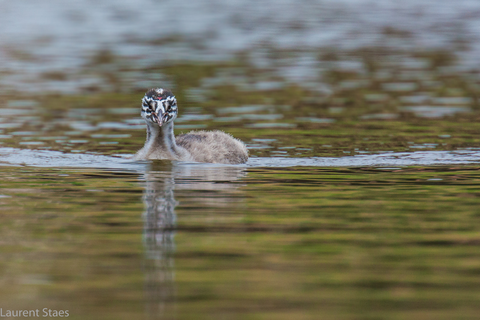 Photograph Juvenile Great Crested Grebe by Laurent Staes on 500px