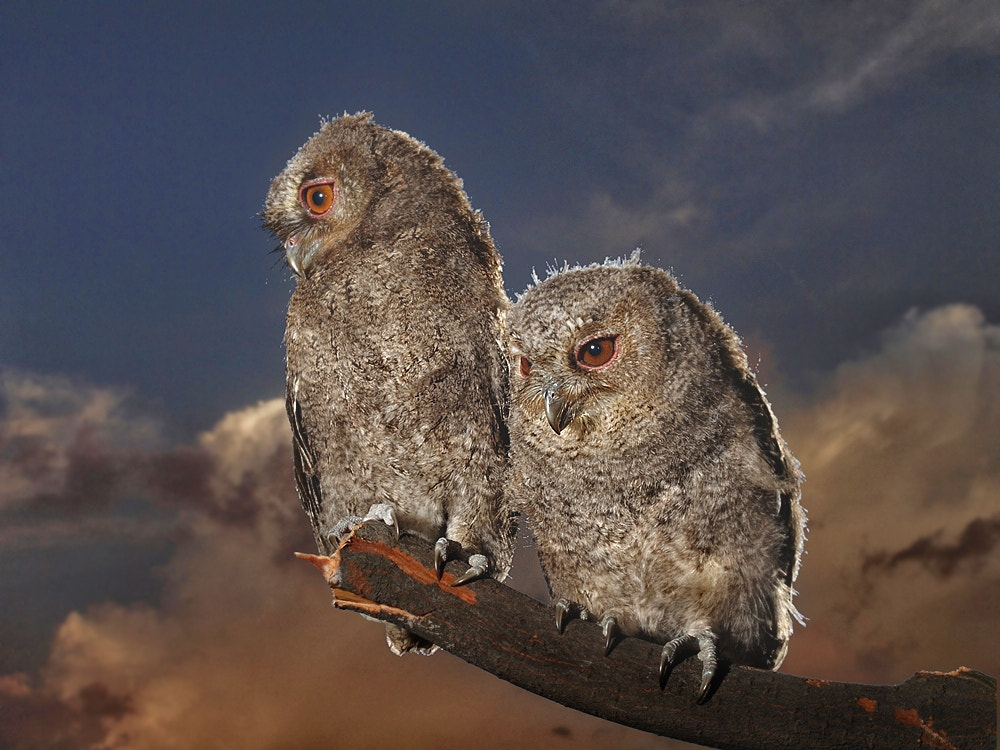Photograph two  mini owl by Irawan Subingar on 500px