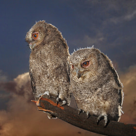 two  mini owl by Irawan Subingar (Irawan-Subingar)) on 500px.com