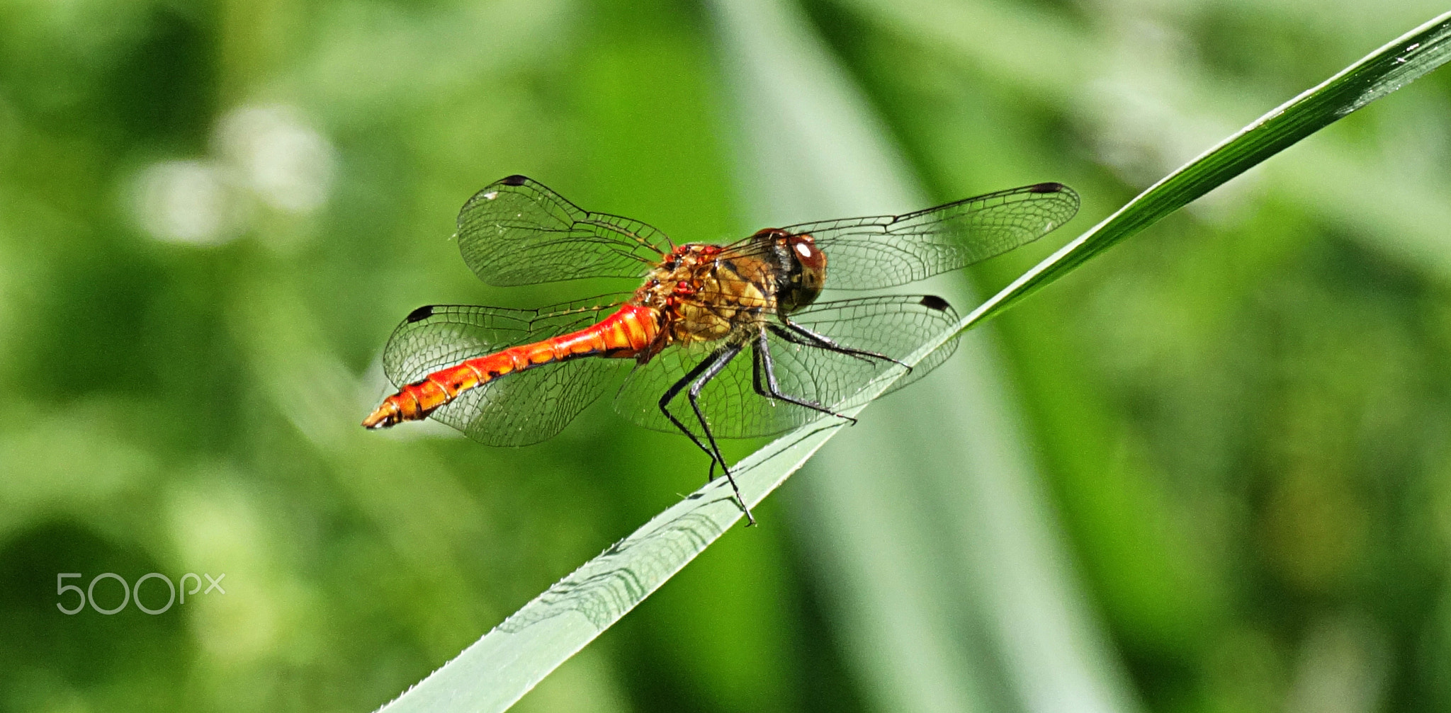 Photograph Yellow-winged darter by Edmond Dantès on 500px