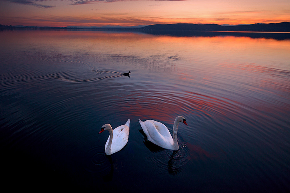 Photograph Swan lake II by Christos Lamprianidis on 500px