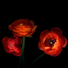 I love Ranunculus, the multi-layered blooms opened beautifully, not always evident, their stems are extremely delicate and do tend to just collapse before the bud can open into a gorgeous voluptuous bloom...