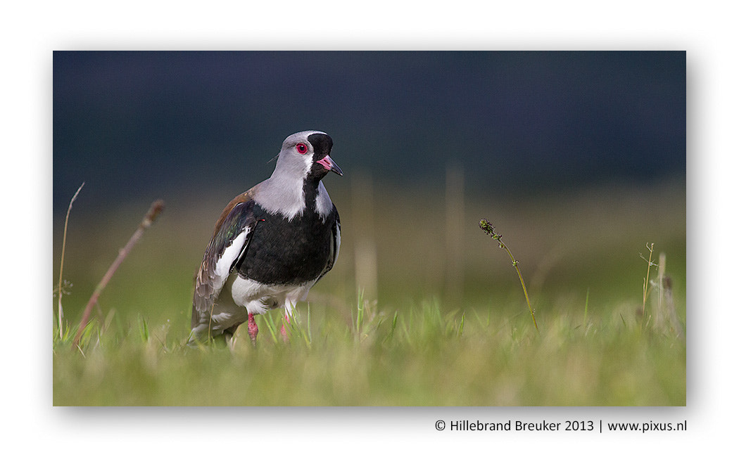Photograph Southern Lapwing by Hillebrand Breuker on 500px
