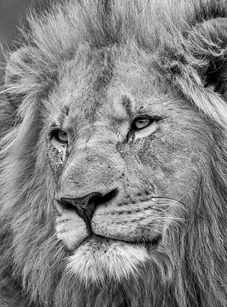 Photograph Lion King by Jacques Matthysen on 500px