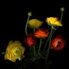 I love those Ranunculus, their season was over, I had the images as memories of how beautiful, layered and colourfully heartwarming they were... How they had 'warmed' up and lightened our home and hearts.