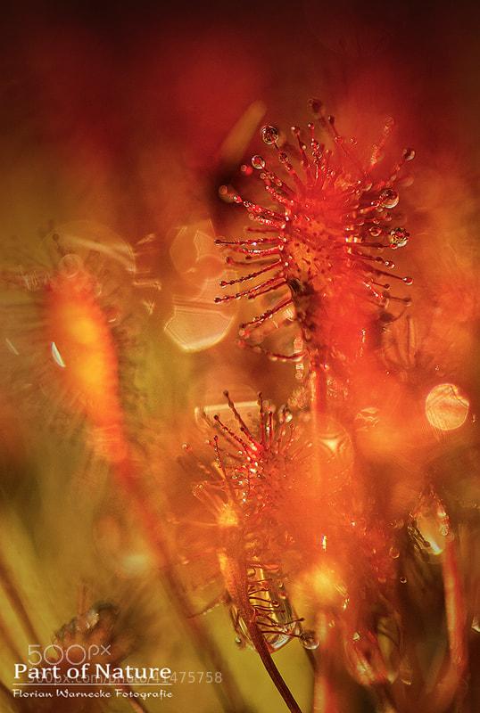 Photograph Sundew magic by Florian Warnecke on 500px