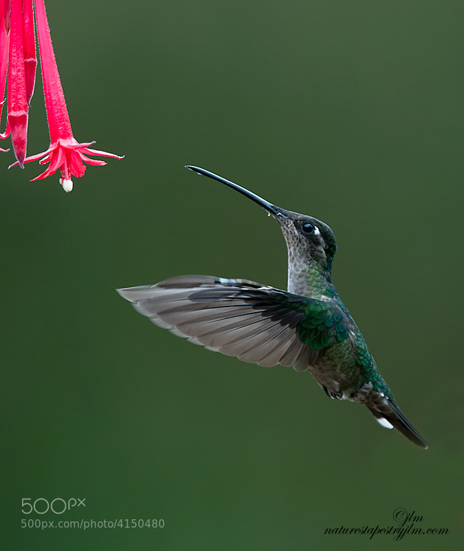 This little green crowned brilliant hummingbird was captured in the mountains of Costa Rica.  There were such a plesure to see and one could sit for hours watching them fly from flower to flower.