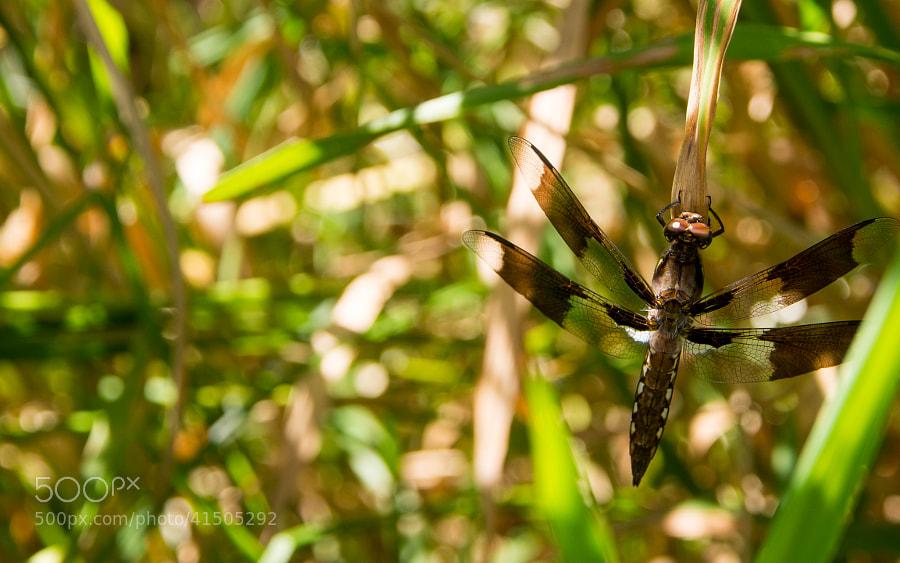 Female Common Whitetail Skimmer