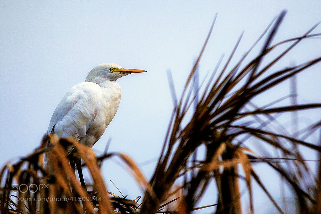 Photograph Egret by Ahmed Abdulazim on 500px