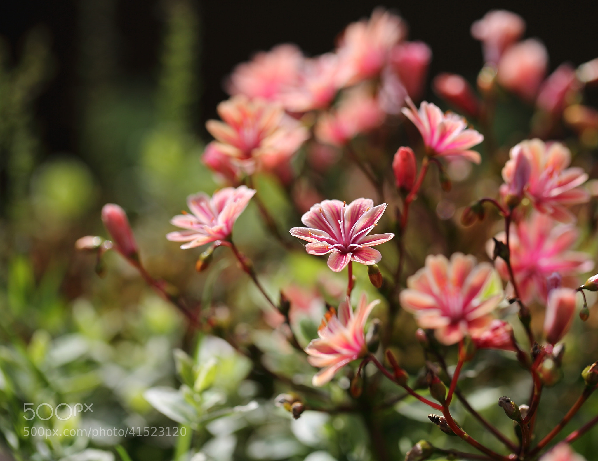 Photograph Lewisia Cotyledon by Eva Lechner on 500px