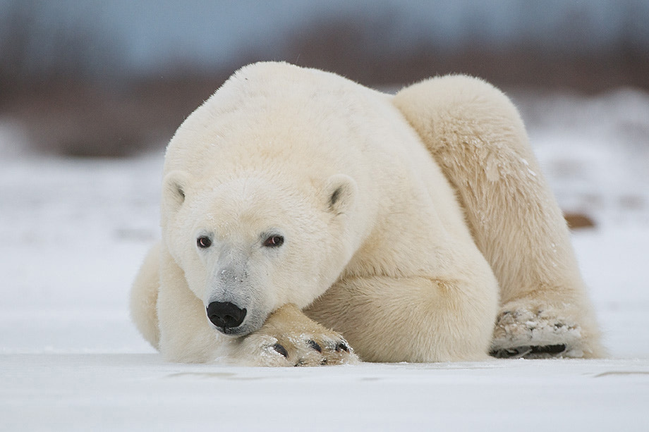 Photograph Eye to Eye with a Polar Bear by Sean Crane on 500px