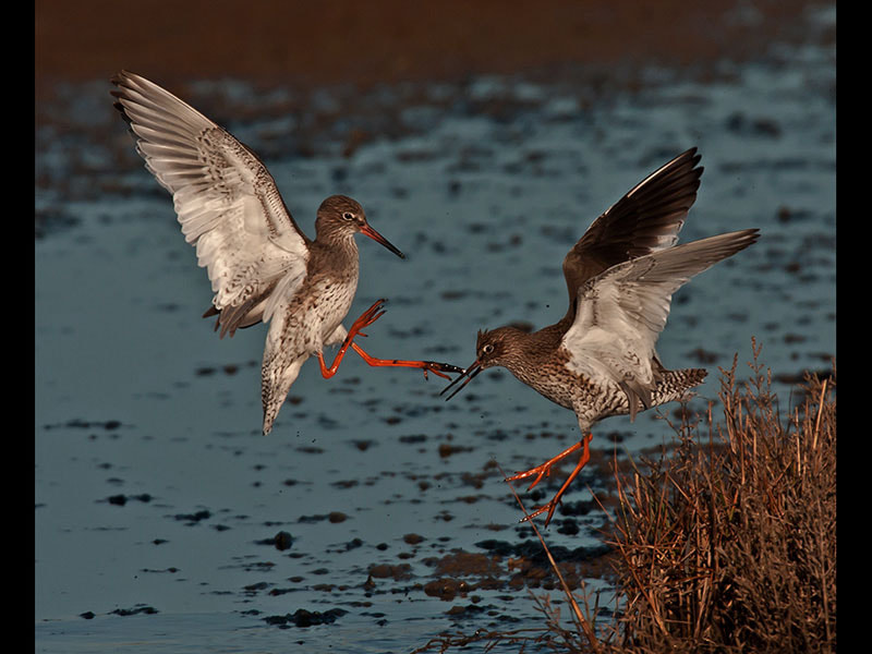 Photograph fighting redshanks by dave blackwell on 500px