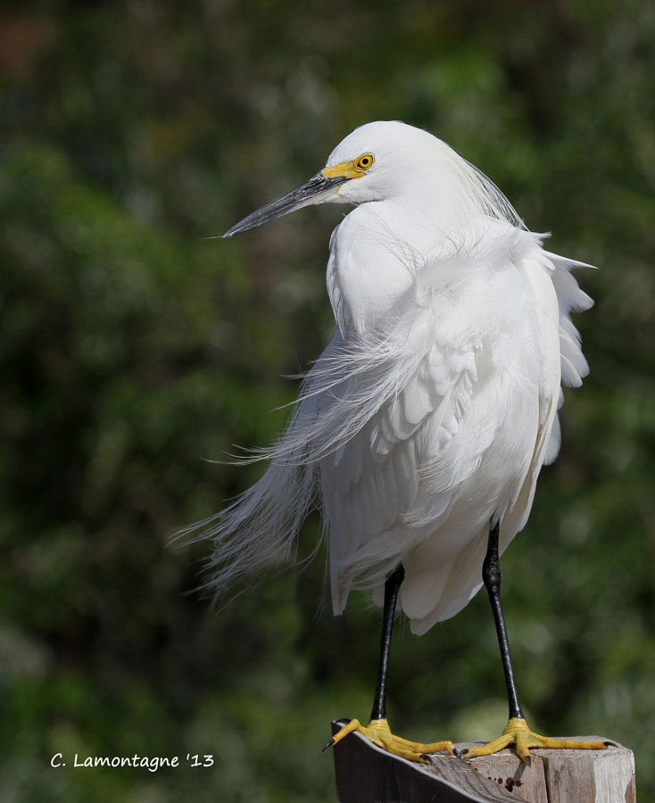 Snowy Egret having a bad hair day :)  Happy weekend everyone!
