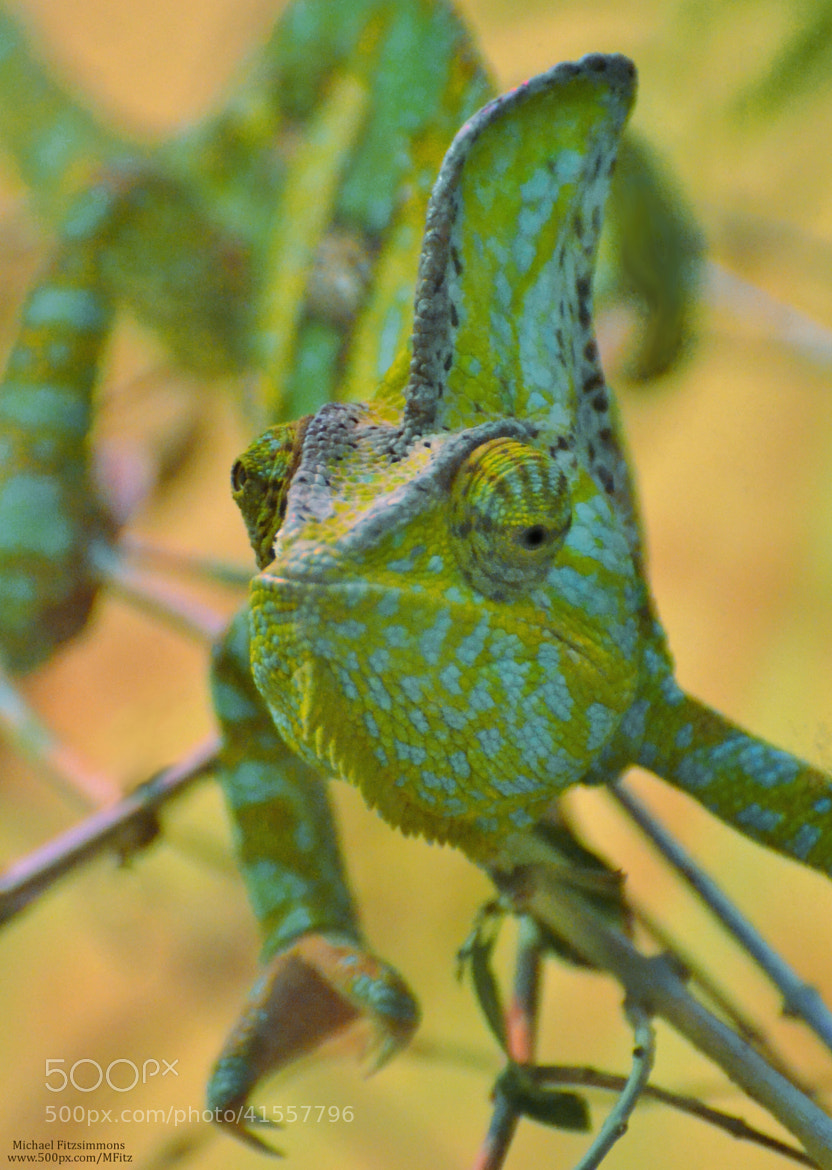 Photograph Chameleon by Michael Fitzsimmons on 500px