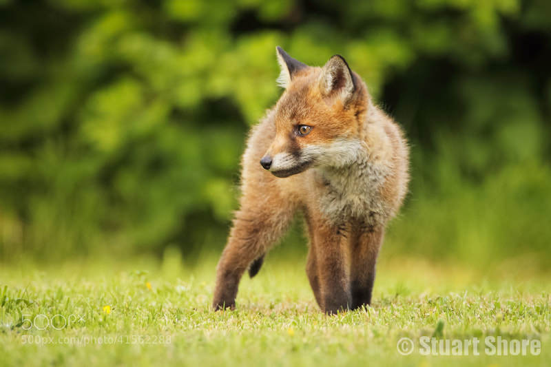 Photograph Young Fox Cub by Stuart Shore on 500px