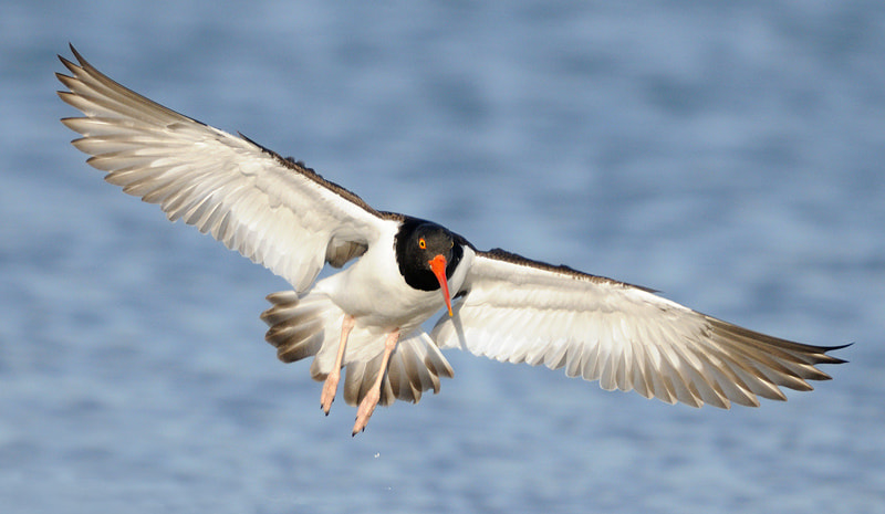 Photograph American Oyster Catcher by James Shadle on 500px