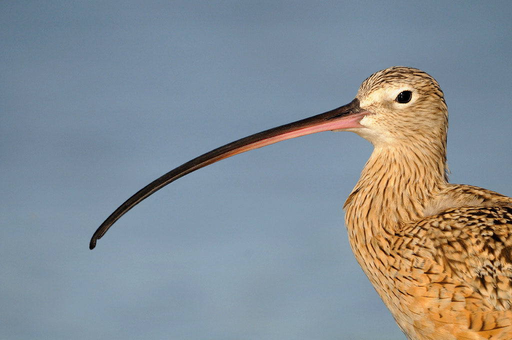 Photograph Long-billed Curlew by James Shadle on 500px