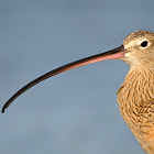 Long-billed Curlew Profile