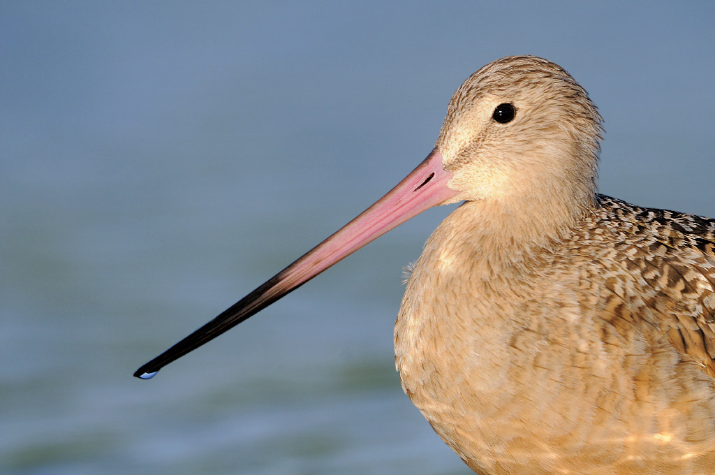 Photograph Marbled Godwit by James Shadle on 500px