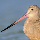Marbled Godwit Profile