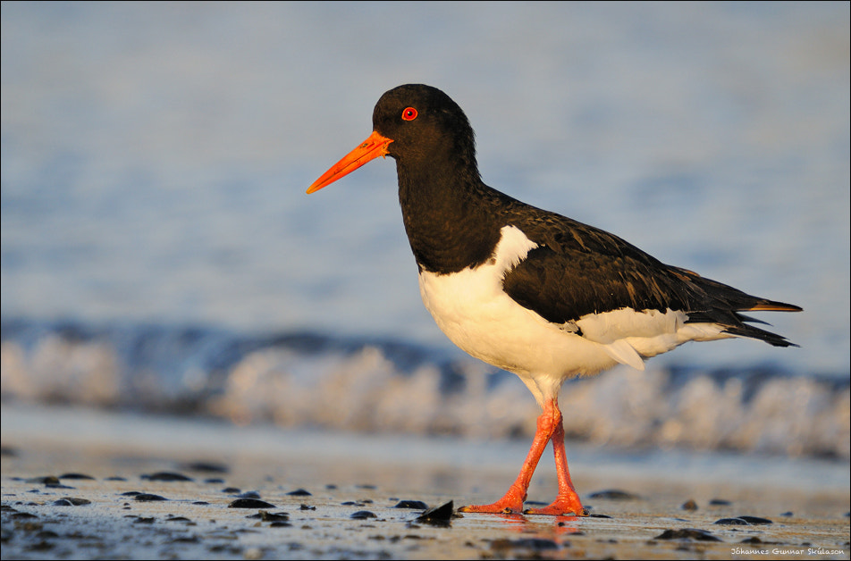 Photograph Oystercatcher in the evening light by Jóhannes Gunnar on 500px