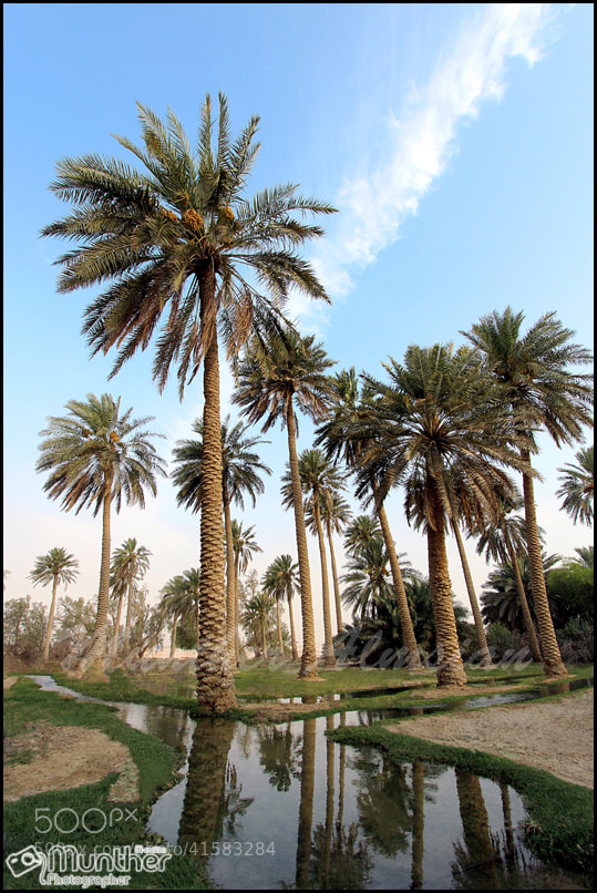 Photograph نخيل الاحساء by munther Almsian on 500px
