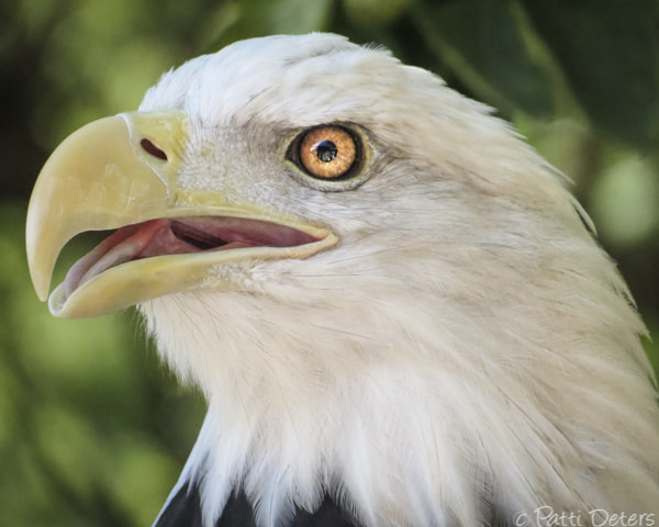 Photograph American Bald Eagle Portrait by Patti Deters by Patti Deters on 500px