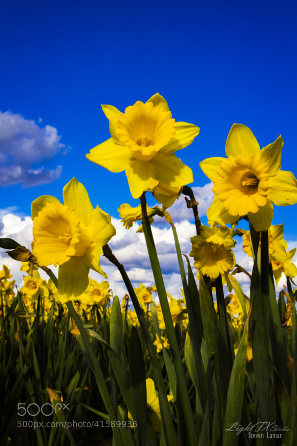 Photo I made from the Skagit Valley Tulip Festival a couple years ago.  The daffodils looked fantastic as well.  If you have never experienced it, it is a must see.  Nothing like fields and fields of colors.