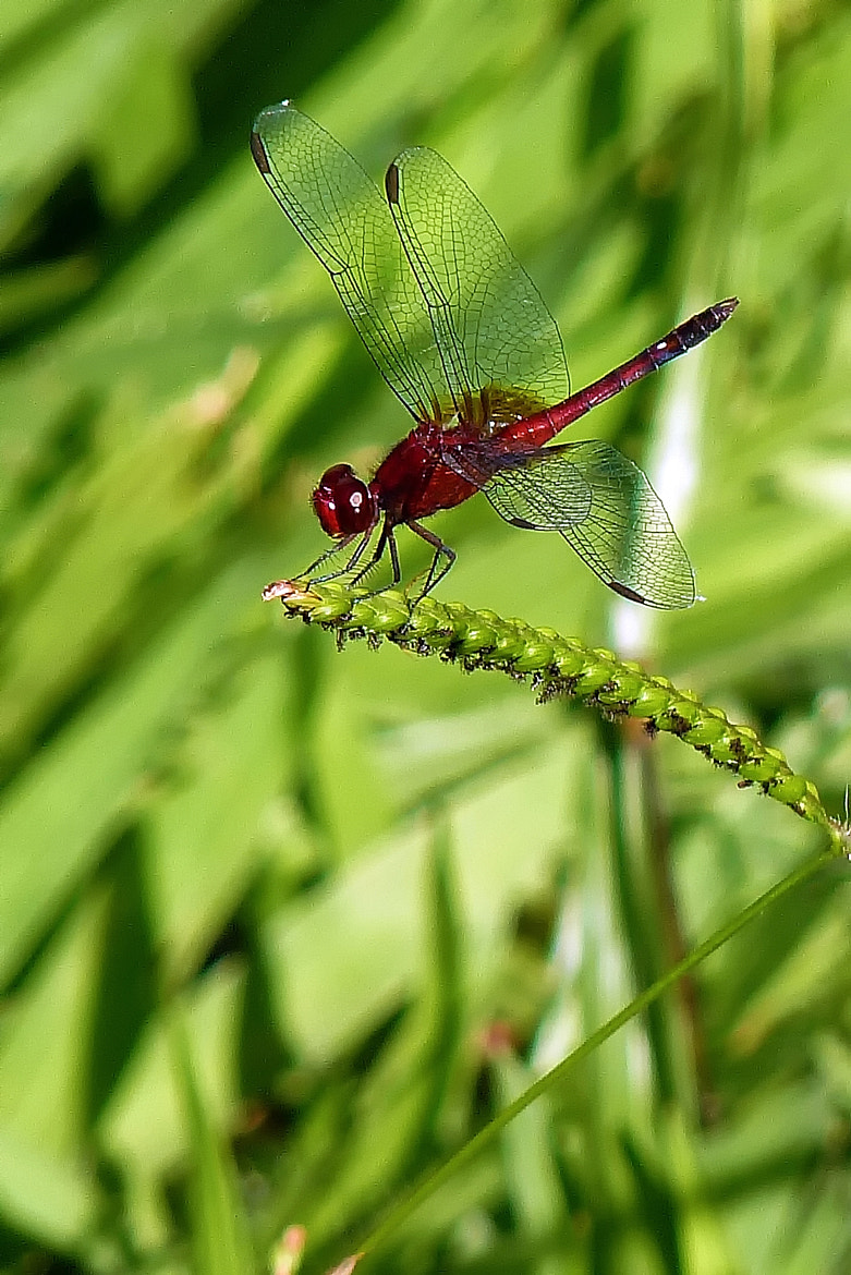 Photograph Red dragonfly by Pedro Henrique on 500px