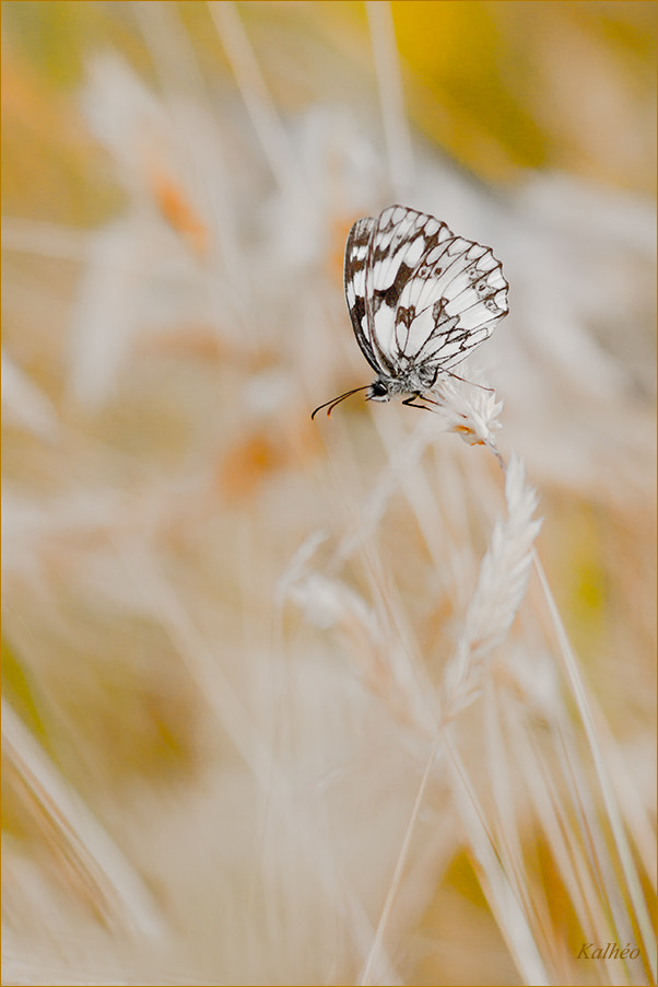 Photograph Sweet butterfly by florence Kalheo on 500px