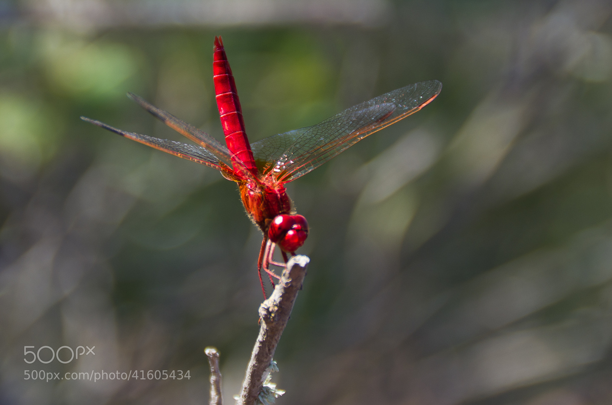 Photograph Red dragonfly by Christian Olivares on 500px