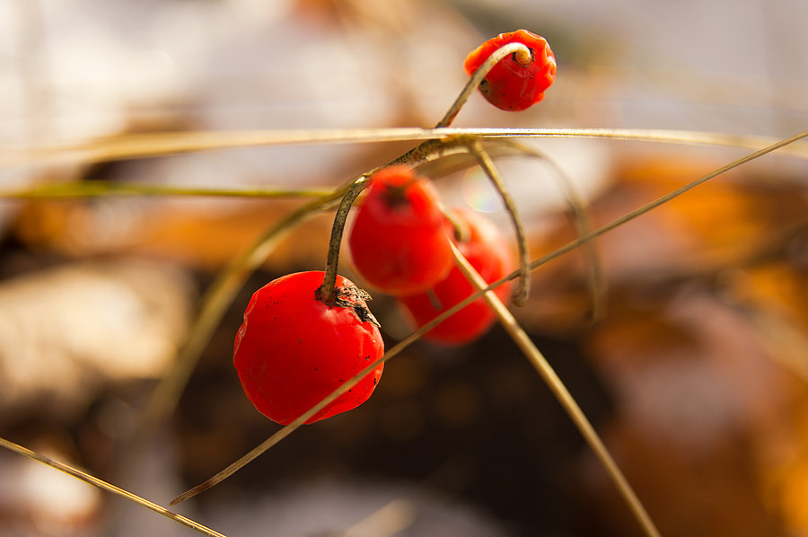 Photograph red berries in autumn by Vad 7 on 500px