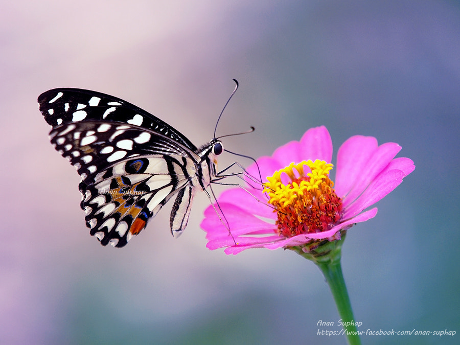 Photograph ผีเสื้อหนอนมะนาว by Anan Suphap on 500px