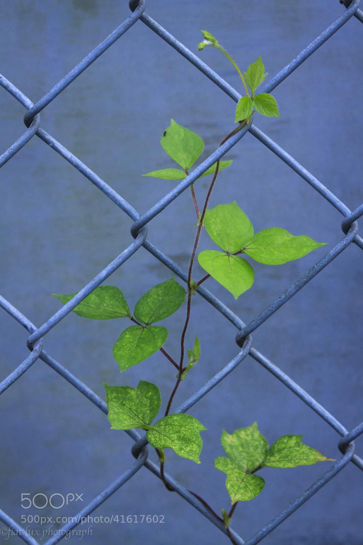 Photograph Ivy #5 by Masuki Iizuka on 500px