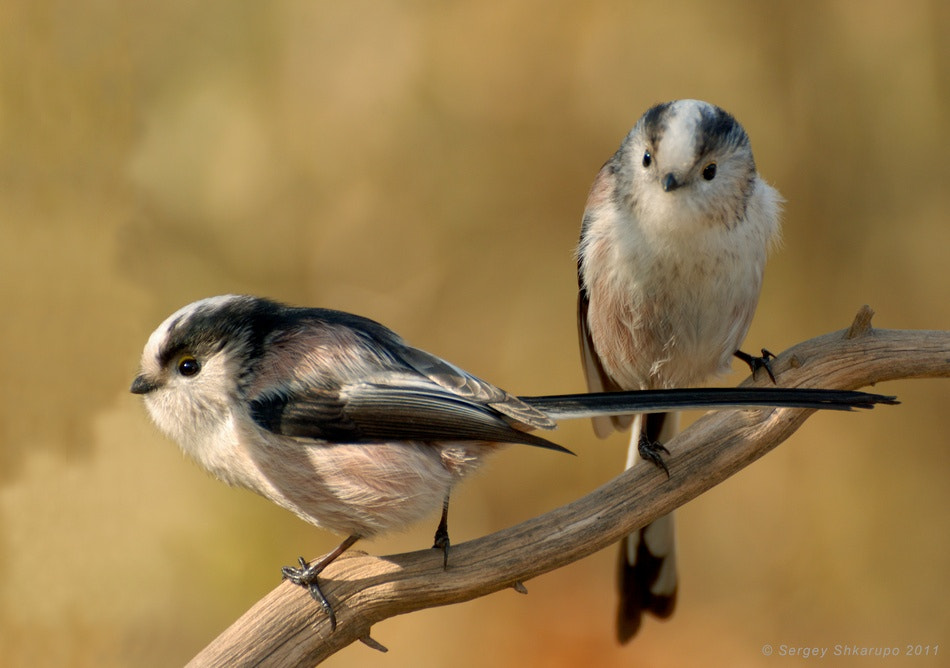 Photograph Talk of long-tailed tits by Sergey Shkarupo on 500px